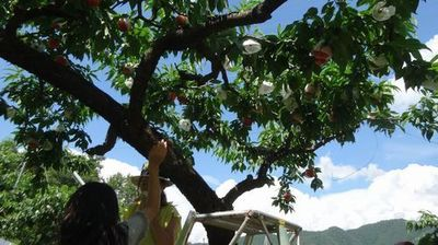 山梨御坂観光農園夏桃狩り初めての果物狩りフルーツ狩りどこがオススメ?